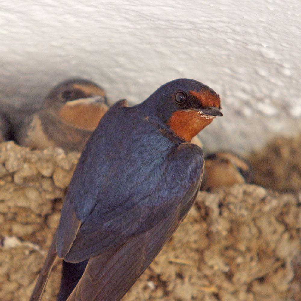 GolondrinaSwallow